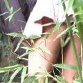 尿意に負けて竹やぶで野外放尿したギャル